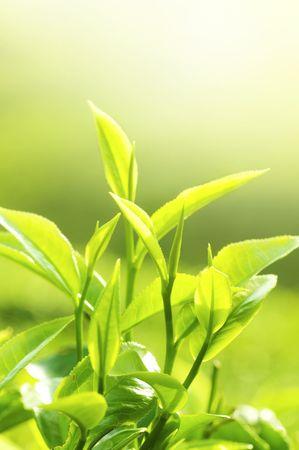 teepflanze: Tee-Blatt mit Plantation im Hintergrund (morgen)