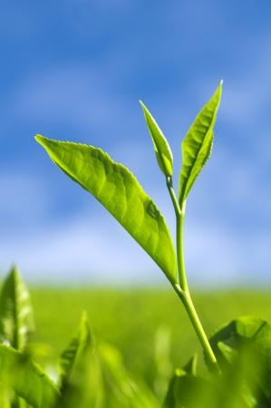 feuille arbre: Gros plan des feuilles de thé avec le soleil du matin. Banque d'images