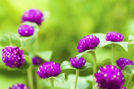 Globe amaranth or Gomphrena globosa close up in a morning. Stock Photo - 6756585