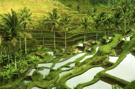 bali: Terrace rice fields in morning sunrise, Ubud, Bali, Indonesia Stock Photo