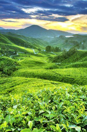 Plantaciones de té en Malasia de Cameron Highlands. Amanecer de mañana con niebla.