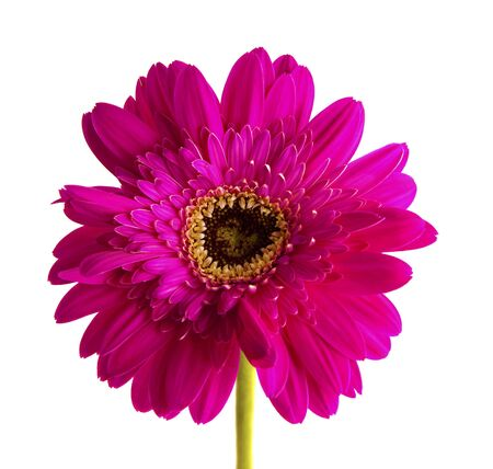 Red gerbera flower isolated on white background. photo