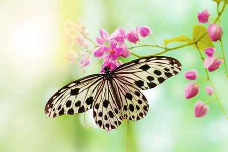 mariposas amarillas: Mariposa de papel de arroz en flor rosa  Foto de archivo