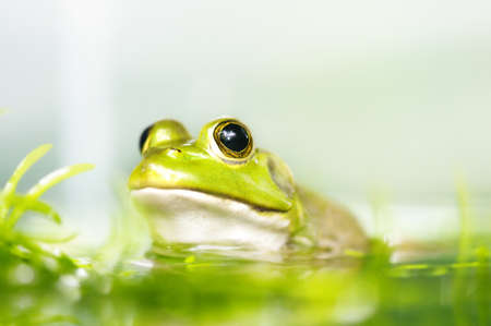 Close up frog in a pond, shallow depth of field. photo