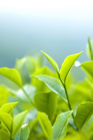 tea plantation: Close up fresh tea leaves in morning sunlight. Stock Photo