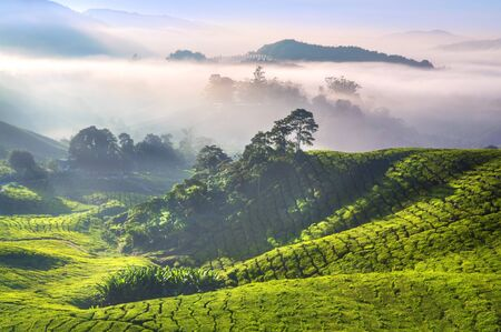 Tea Plantations at Cameron Highlands Malaysia. Sunrise in early morning with fog. Stock Photo - 6981156