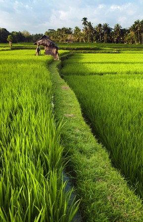 ricefield: Rice field in early stage at Ubud, Bali, Indinesia. Coconut tree and hut at background. Stock Photo