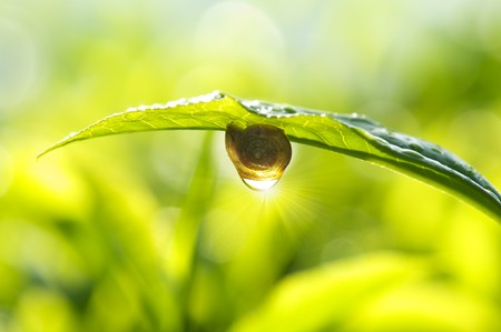 Snail on tea leaf with morning sunlight reflect on dew. photo