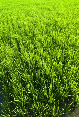Rice field in early stage in Bali, Indonesia. photo