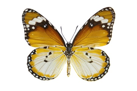 Gros plan simple papillon de Tiger isolée sur blanc.