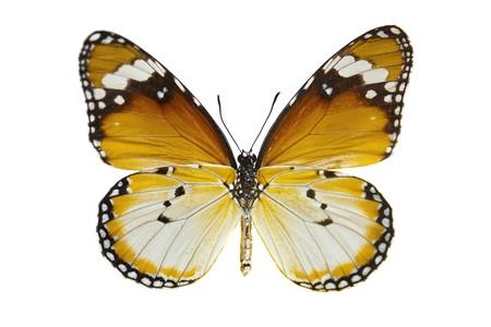 with orange and white body: Llanura de Close-up Tiger Butterfly aislado en blanco.