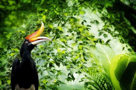 hornbill: Borneo exoctic great hornbill in tropical rainforest, Malaysia.
