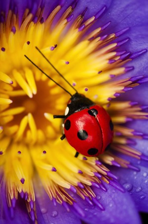 Close up of red ladybug on purple waterlily photo