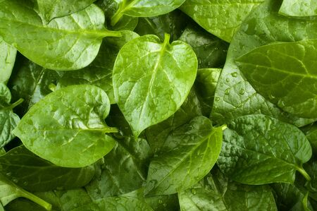 Stack of fresh malabar spinach vegetable leaves. photo