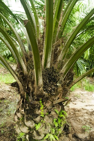 Palm oil to be extracted from its fruits Stock Photo - 7491792