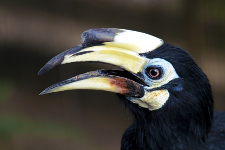 hornbill: Close up on Exotic Black Malaysian Hornbill. Stock Photo