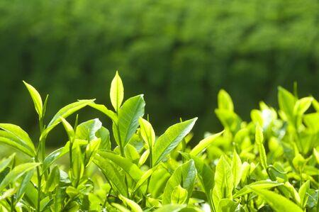 特寫新鮮茶葉在早晨的陽光。
