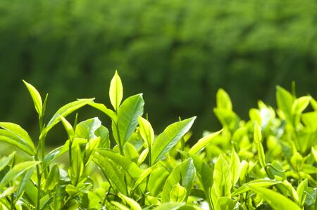 Close up fresh tea leaves in morning sunlight. Stock Photo
