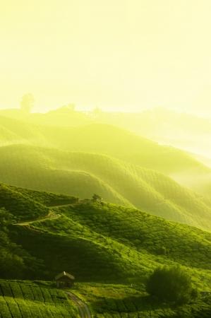 teepflanze: Tee Plantagen in Cameron Highlands, Malaysia. Sunrise in den fr�hen Morgenstunden mit Nebel.  Lizenzfreie Bilder