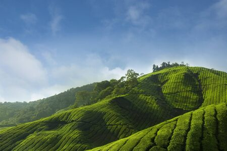 tea estates: Tea Plantations at Cameron Highlands Malaysia, Asia.