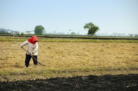 slave labor: A farmer working on rice filed, after harvesting.