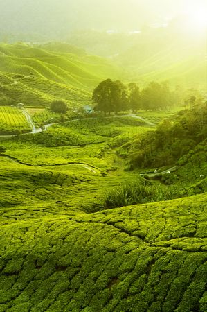 Tea Plantations at Cameron Highlands Malaysia. Sunrise in early morning with fog.  photo