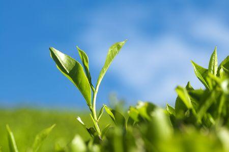 hojas de te: Close up hojas de t� con luz solar por la ma�ana, Cameron Highland Malasia.  Foto de archivo