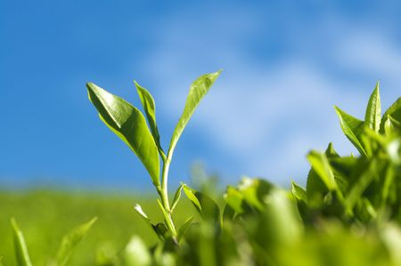 morning tea: Close up tea leaves with morning sunlight, Cameron Highland Malaysia.  Stock Photo