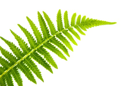 Close up fern leaf isolated on white