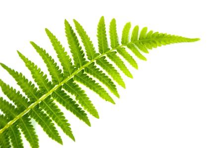 Close up fern leaf isolated on white