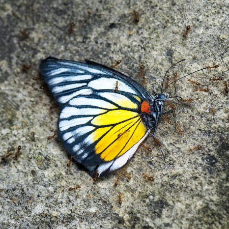 Ants moving a dead butterfly(red spot sawtooth). photo