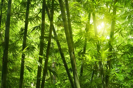 bamboo leaves: Asian Bamboo forest with morning sunlight.