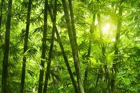 bambu: Bosque de bamb� de Asia con la luz del sol de la ma�ana.  Foto de archivo