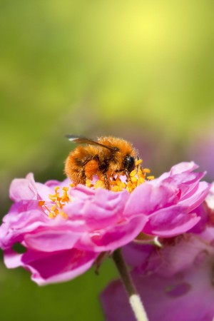 Close up bee collecting honey on pink flower photo