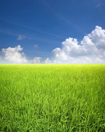 Landscape of rice field in Asia, Malaysia, Sekinchan. Stock Photo - 7720214