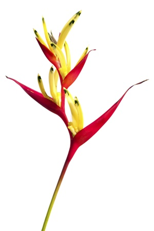 A Bird of Paradise flower isolated on a white background. Stock Photo - 8394008