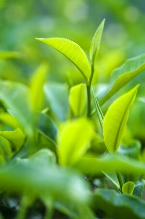 close in: Close up fresh tea leaves in morning sunlight. Stock Photo