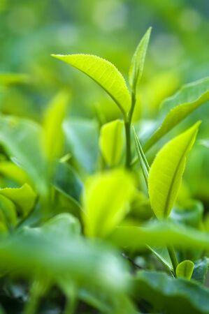 hojas de te: Close up hojas de t� fresco en sol de la ma�ana. Foto de archivo
