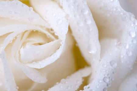 Close up white rose with dew photo