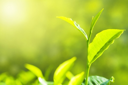 Tea Leaf with Plantation in the Background (Morning) photo