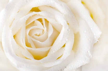Close up of white rose with dew photo