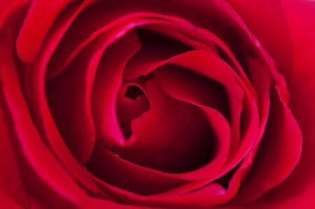 Close up of red rose, overhead view. photo