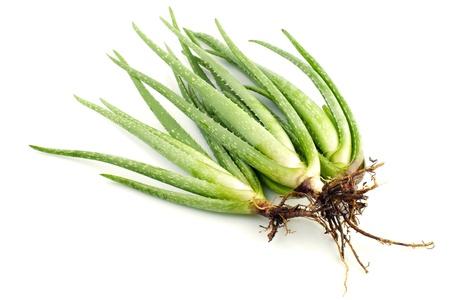 Aloe Vera plant on white background photo
