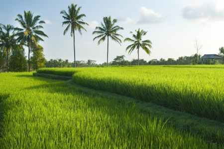 rice fields: Rice field in early stage at Bali, Indonesia. Coconut tree at background.