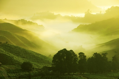 tea estates: Tea Plantations at Cameron Highlands Malaysia. Sunrise in early morning with fog. Stock Photo