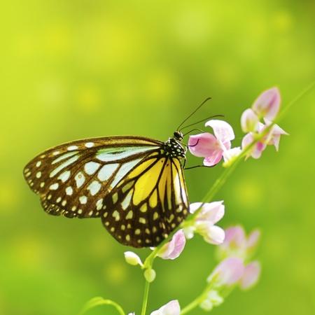 cerca: Parantica Aspasia (Tigre vidriosos amarillo) alimentándose de flor