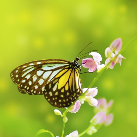 migrating animal: Parantica aspasia (Yellow Glassy Tiger) feeding on flower Stock Photo