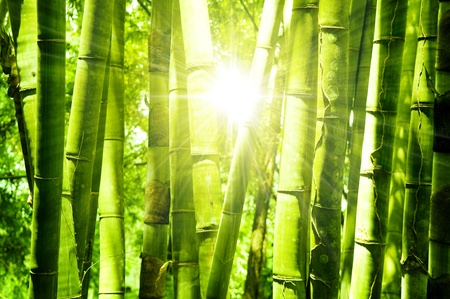Asian Bamboo forest with morning sunlight. Stock Photo