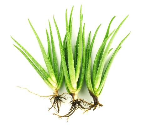Three aloe vera plants on white background photo
