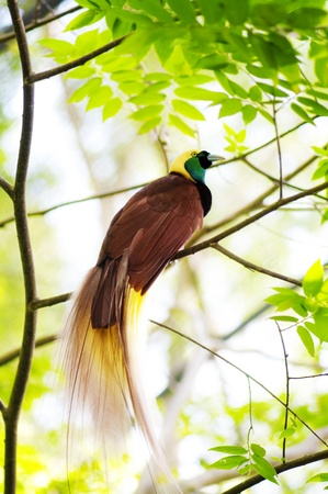 birds of paradise: Lesser Bird of Paradise or Paradisaea minor. One Of the most exotic birds in Papua New Guinea.